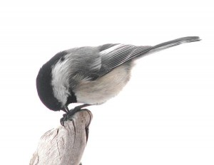black capped chickadee at the feeder at Ginty Creek