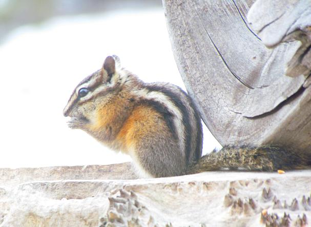 chipmunk at the feeder at Ginty Creek