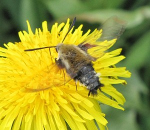 bee hawk moths love dandelions