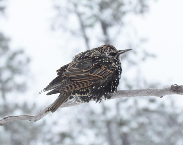 starling at Ginty Creek