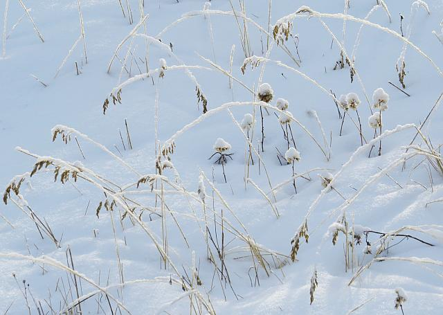 grasses dancing in the snow