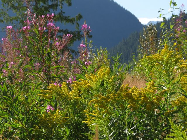fireweed and goldenrod