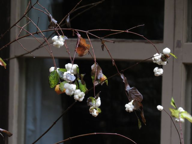 snowberries at Stuix