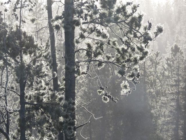 15 fog in trees