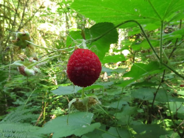 10 thimbleberry
