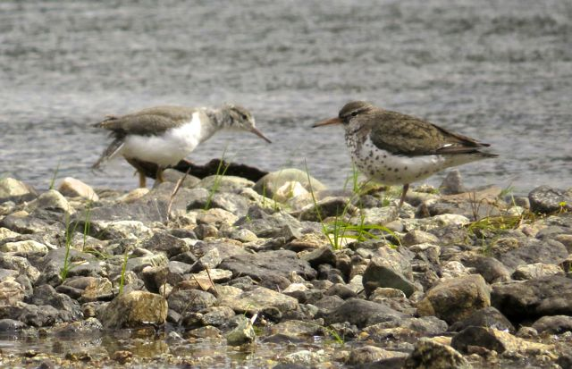 13 spotted sandpipers