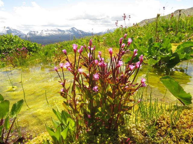 7a 1 alpine willowherb