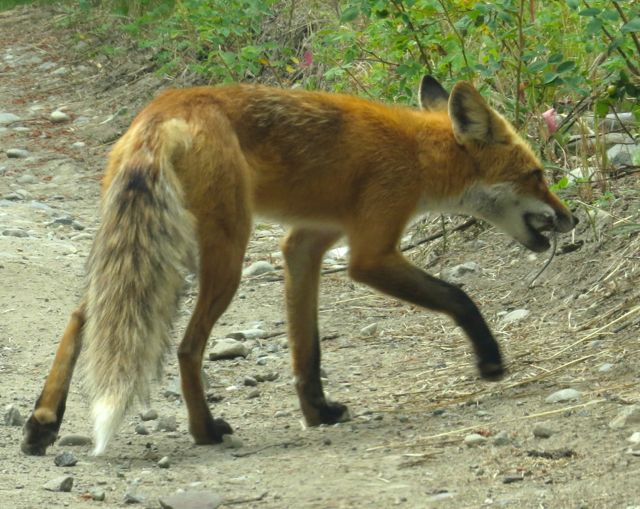 4 fox with meal